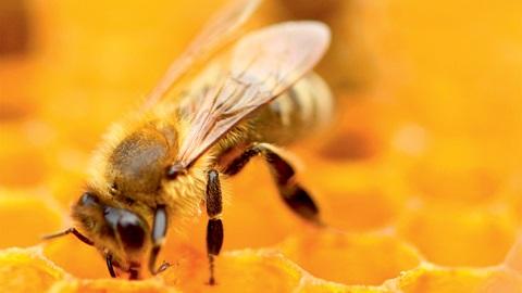 Abeille dans sa ruche