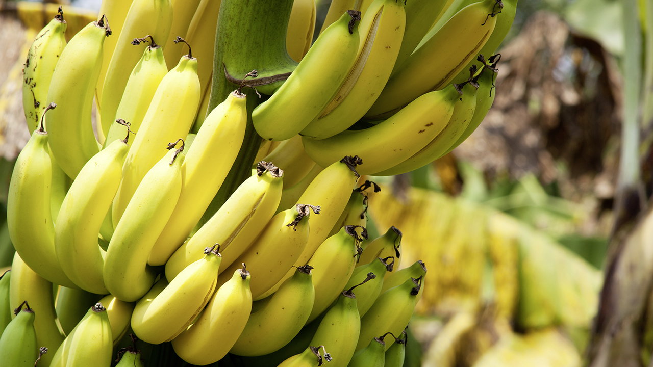 La banane, fruit d'injustices